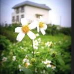 house with daisy